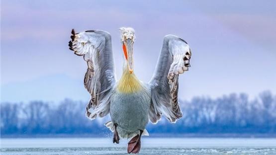 1ο βραβείο για τη φωτογραφία του Δαλματικού Πελεκάνου της Κερκίνης...