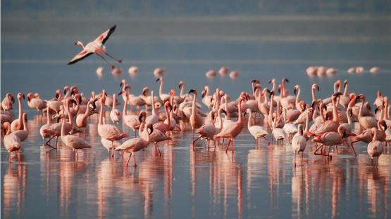 Πανέμορφα ροζ φλαμίνγκο «επισκέφθηκαν» παραλία της Κορίνθου και...