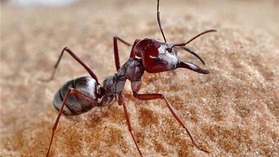 Στη Σαχάρα το πιο γρήγορο μυρμήγκι στον κόσμο. «Πιάνει» σχεδόν...