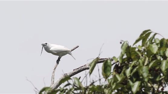 Βίντεο: Ακούστε το πιο θορυβώδες πουλί του κόσμου!