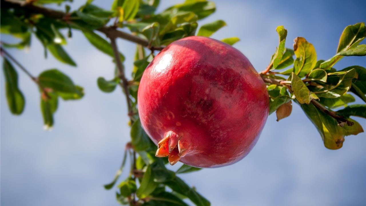 «Φρενίτιδα» για το γούρικο ρόδι - Ξεπούλησαν πολλοί παραγωγοί