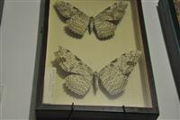 Οι μεγαλύτερες πεταλούδες του κόσμου.